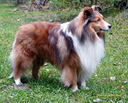 grandgables sheltie